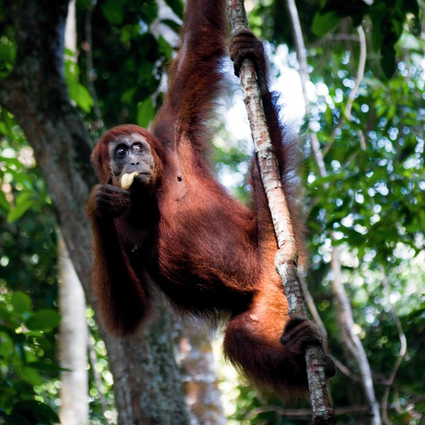 Orangutang in tree